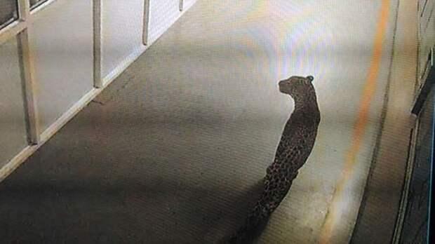 Леопард пришел на завод Suzuki. Рабочие бежали