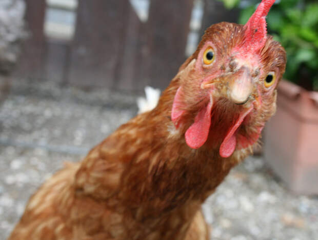Курица раздора