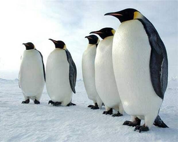 Императорский-пингвин-Описание-и-образ-жизни-императорского-пингвина-3