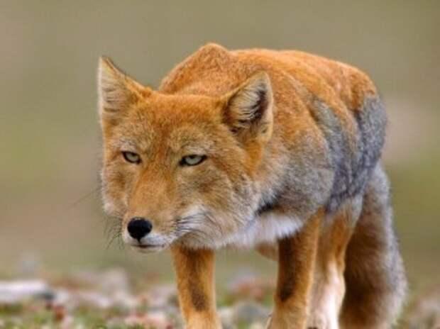 В Калужской области нашли бешенство у лисы