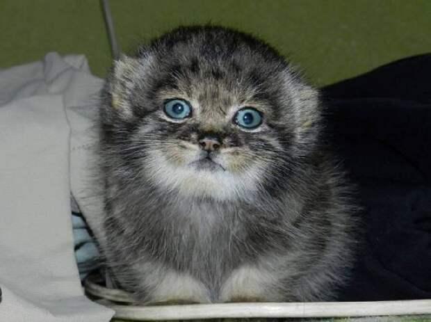 Детёныш манула по кличке Даша — дикий котёнок, которого приютили люди