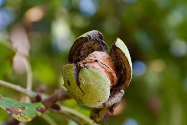 Грецкий орех одарит плодами