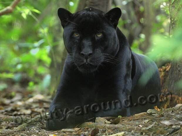 Чёрная пантера красивые фото животных