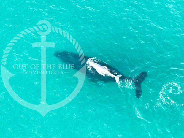 В Австралии засняли китенка-альбиноса, возможно это сын знаменитого белого кита Мигалу