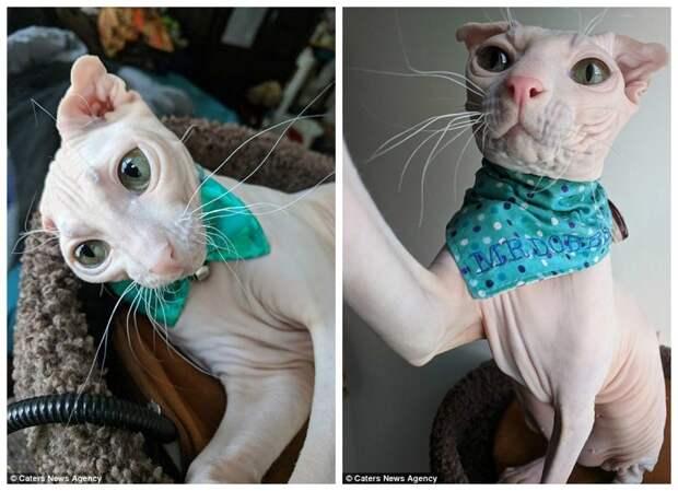 Лысый эльф по кличке Добби аллергия, добби, домашние животные, кот, кошка, лысая кошка, питомцы, смешной кот
