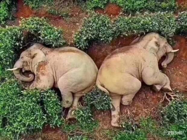Дикие слоны в Китае выпили вина и легли спать