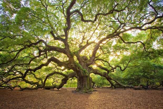 Тест: Попробуйте определить страну по знаменитому дереву