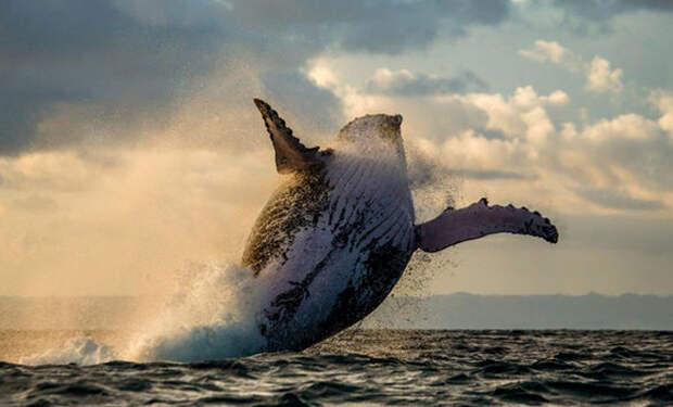 Стая косаток напала на кита с детенышем. Смотрите, что было дальше