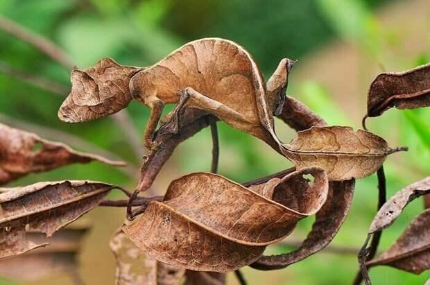 Листохвостный геккон