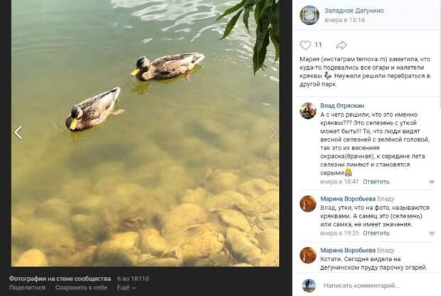 Фото дня: в Дегунинском пруду исчезли огари, но появились кряквы