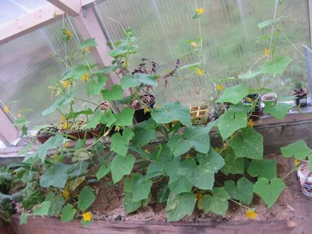 Опыт выращивания имбиря в теплице