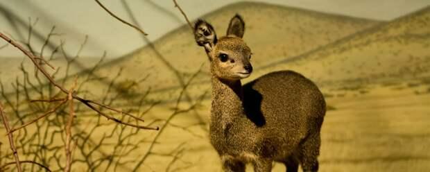 Антилопа-прыгун: Милота в +50 градусов жары. Крошечная антилопа с «проволкой» вместо шерсти и странными копытами