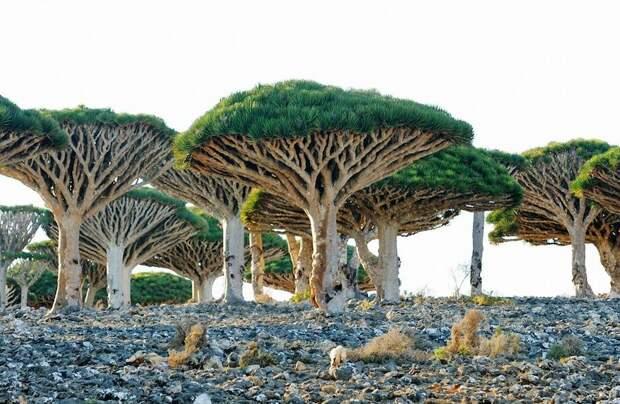 Видео: Самые удивительные растения — секвойя выше статуи Свободы и цирк деревьев