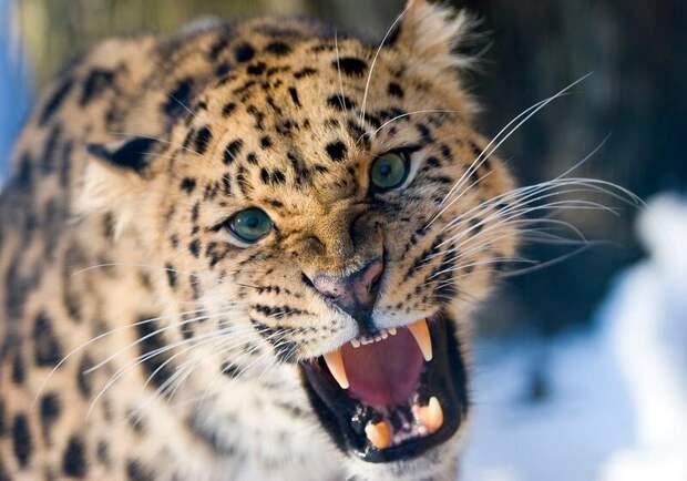 Дальневосточный леопард © Tom Svensson / Nordens Ark