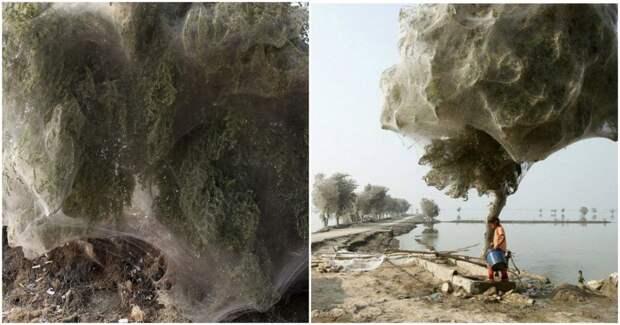 5 фото паучьих деревьев, которые похожи на сладкую вату