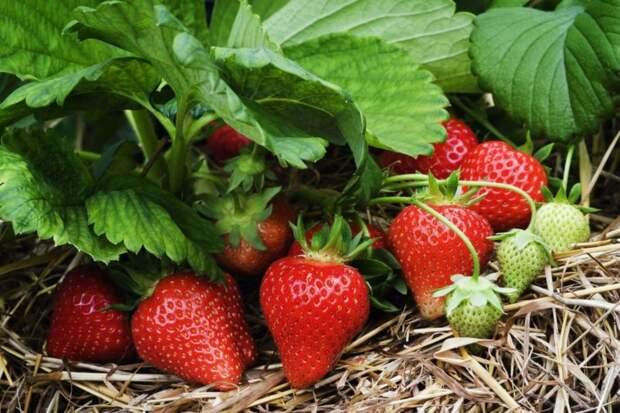 5 советов по уходу за клубникой весной, чтобы получить большой урожай вкуснейшей ягоды
