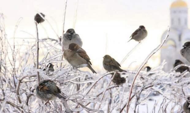 Воробей в Москве становится редкой птицей. Почему так происходит?