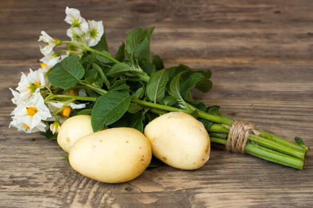 Выращивание картофеля из ботанических семян