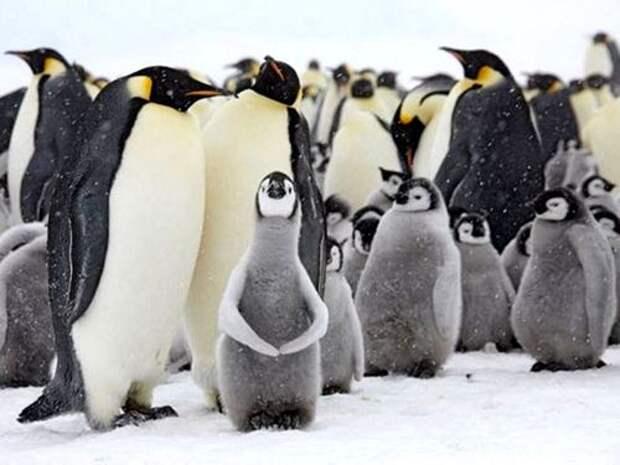 Императорский-пингвин-Описание-и-образ-жизни-императорского-пингвина7