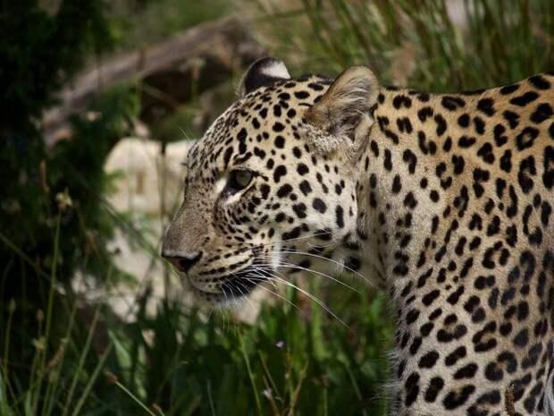 Геномные различия между африканскими и азиатскими леопардами оказались неожиданно большими