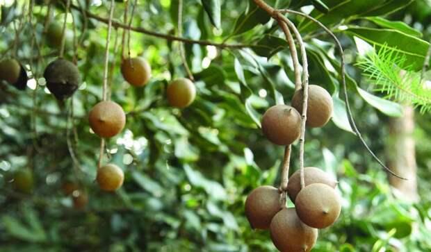 Макадамия: самый дорогой в мире орех