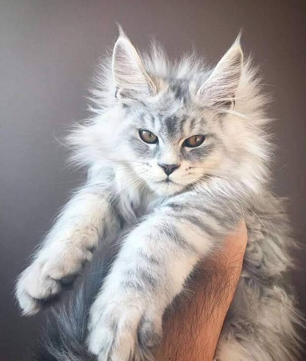 30 фото кошек породы мейн-кун, которые сделают вашего кота миниатюрным