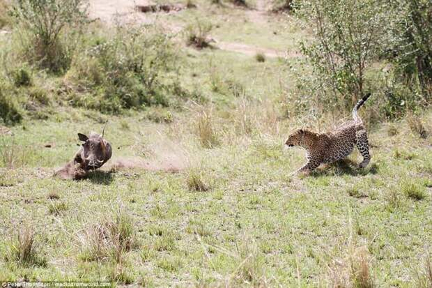 Но кошка легко настигает несчастную свинью битва животных, бородавочник, заповедник, кения, леопард, масаи-мара, самка, схватка