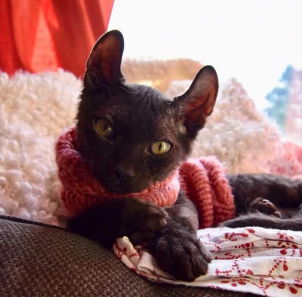 Котёнок бамбино чёрный эльф попал в трудную ситуацию, в которой ему понадобилась моя помощь.