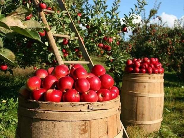 Эффективная подкормка фруктовых деревьев