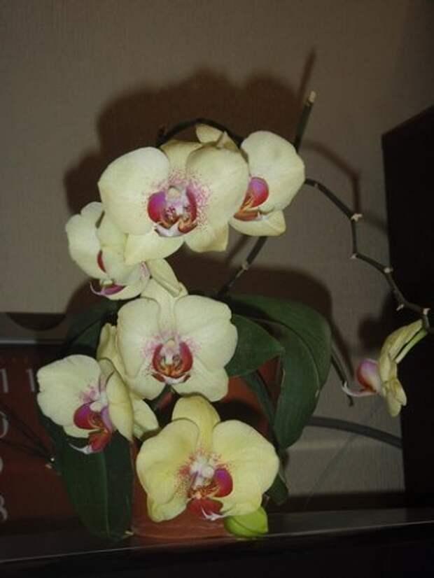 Ухаживаем за фаленопсисом (орхидеями) круглый год, ПРАВИЛЬНО.