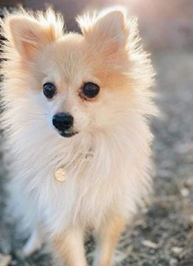 «Не нужна, потому что не шпиц»: собачка оказалась далека от стандартов породы. Хорошо, что ее всё равно полюбили