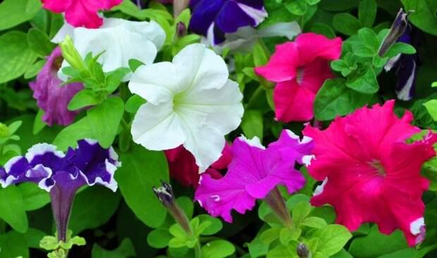 Разнообразие петунии включает в себя очень много расцветок