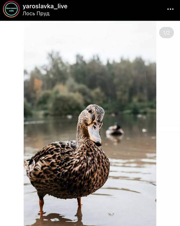 Фото дня: любопытная утка на пруду «Лось»