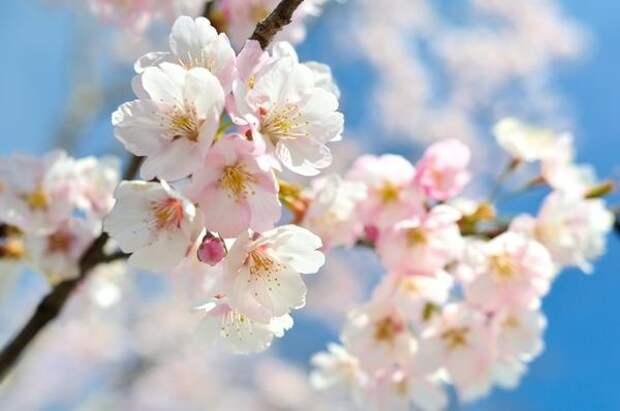 Ряд сортов вишни способны давать высокие урожаи только при наличии в саду другого сорта-опылител
