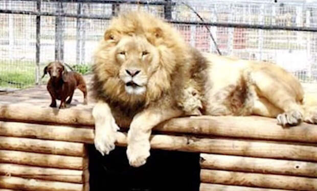 Лев дружит с собакой