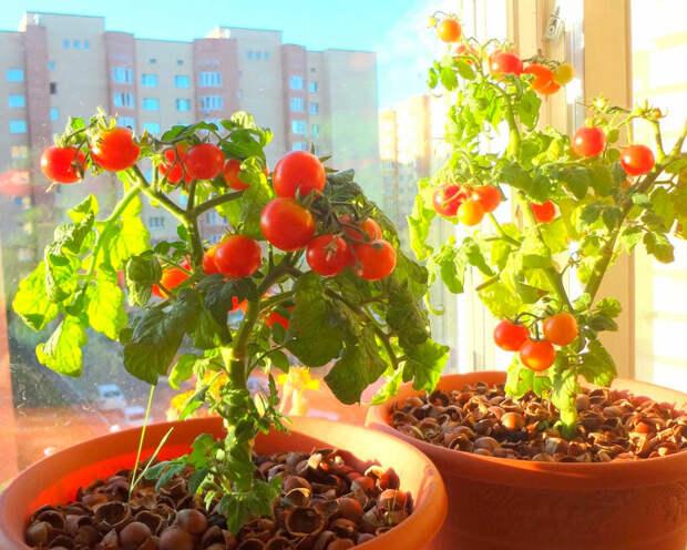 Как юному натуралисту вырастить томат на подоконнике?