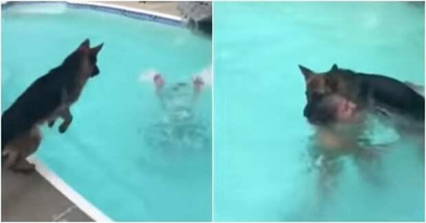 Как правильно спасать притворяющуюся утопающей хозяйку бассейн, видео, животные, прикол, спасение, юмор