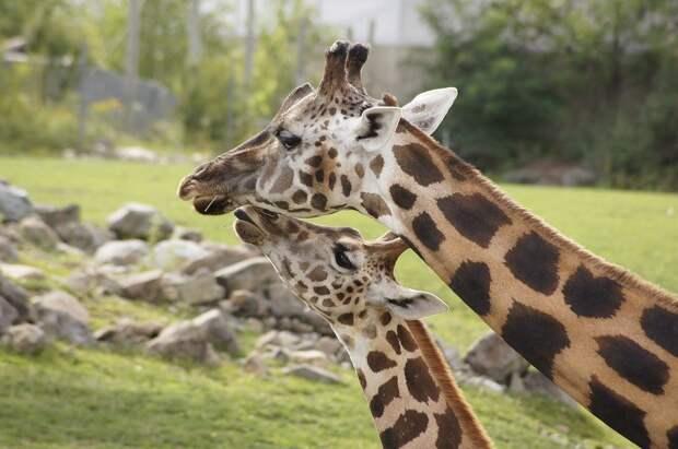 В Кении началась операция по спасению жирафов с затопленного острова