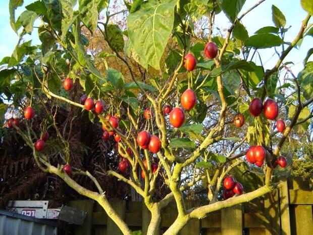 Картинки по запросу томатное дерево