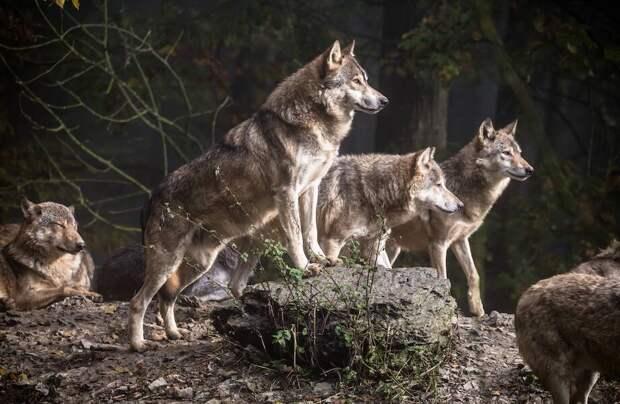 Как волки пережили ледниковый период и почему после не стали впадать в спячку