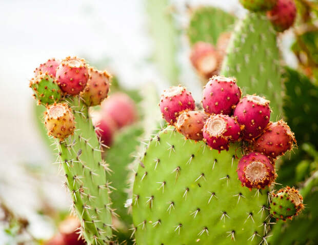 В Мексике изобрели пластик из сока кактуса