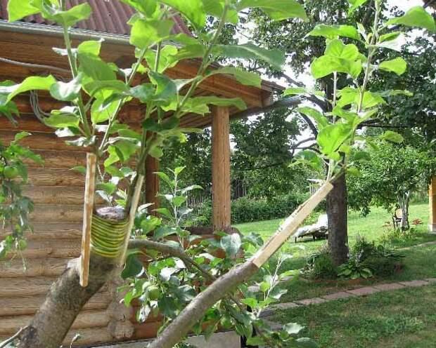 Как привить яблоню весной: способы, советы, сроки