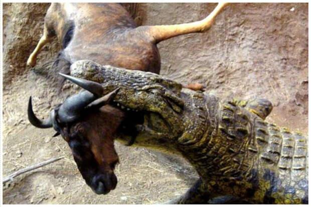 Чтобы выпрыгнуть из воды и схватить добычу, крокодилу нужно всего 200 миллисекунд. Это в два раза быстрее, чем моргает человек. аллигатор, интересное, крокодил, природа, факты, фауна