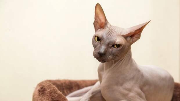 Женщина купила котенка сфинкса. Но вырастила кого-то другого!