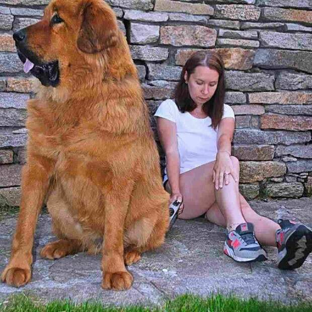Тузики и Бобики не для слабаков гиганты, красота, молоссы, огромные, собаки