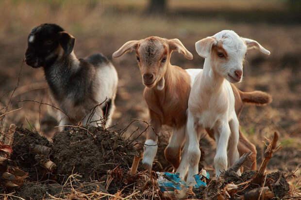 29 фотографий супер очаровательных и непоседливых козлят - 7