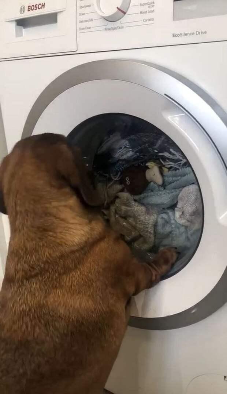 Трехлетняя такса целый час плакала, пока ее любимую игрушку стирали в машинке