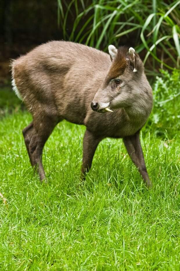 21. Хохлатый олень животные, природа, странности