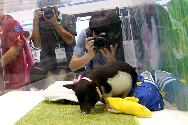 Свиньи так же умны, как собаки, дельфины и приматы