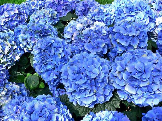 Смогут ли ржавые гвозди изменить цвет гортензии на голубой?